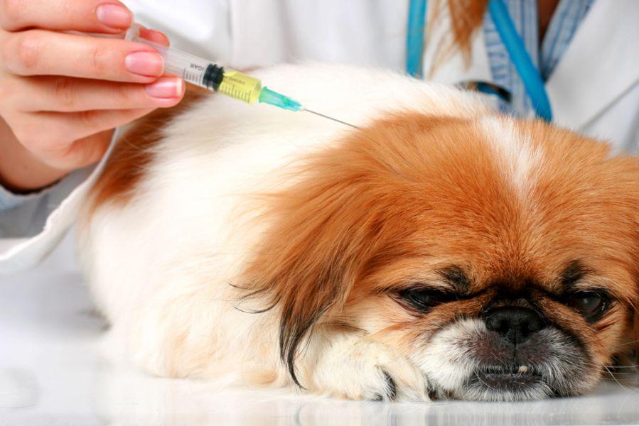 دیابت ملیتوس در سگ